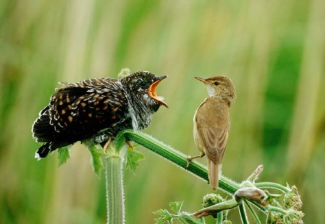 Cuckoo Cuculus canorus and Reed warbler Acrocephalus scirpaceus