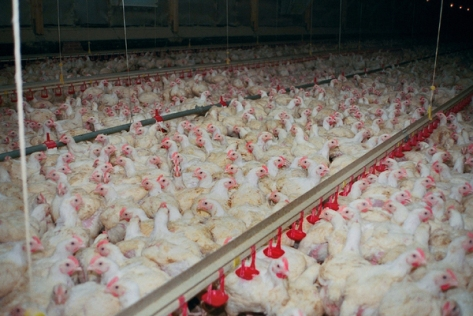 Maststall - Hühner