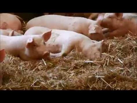 Schweinemast 7