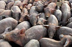 Schweinemast 6