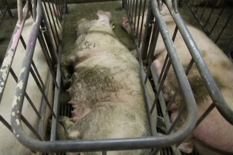 Schweinehochhaus 2