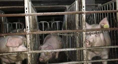 Schweinehochhaus 5